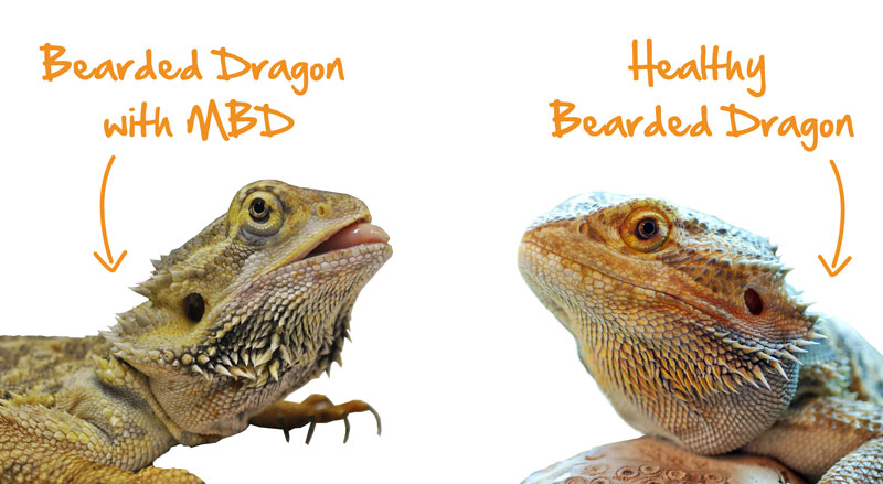 The Best Size Tank For A Hy Healthy Bearded Dragon Baby Full Grown