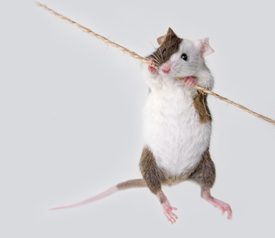 Blog_Pet-rats-and-mice_Mouse